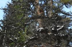 Clark's nutcraker resting on a tree